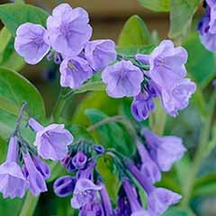Mertensia virginica 'Virginia Bluebell'