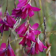 Dierama Blackberry Bells