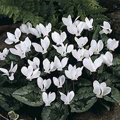 Autumn Flowering Cyclamen hederifolium White