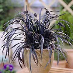 Ophiopogon – Black Dragon Grass