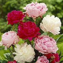 Hardy Paeony Collection - 3 colours