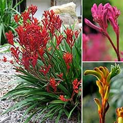 Set of 3 Kangaroo Paws 'Bush Gems' in 10.5cm Pots