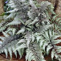 Athyrium niponicum 'Pewter Lace' Japanese Painted Fern in a 9cm Pot