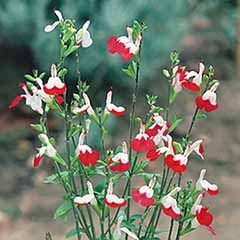 Hardy Salvia 'Hot Lips'