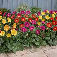 Hardy Gerbera Garvinea 'Sweet' series x 6 plants in 7cm pot