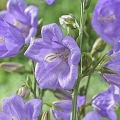 Hardy Campanula 'Takion Blue' in a 5L