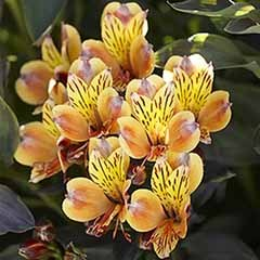 Alstroemeria 'Summer Breeze' 2L potted