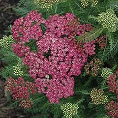 Achillea Saucy Seduction 3L