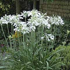 Agapanthus Snow Princess 3L