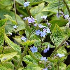 Brunnera macrophylla 3L