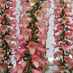 Digitalis Illumination Pink 3L