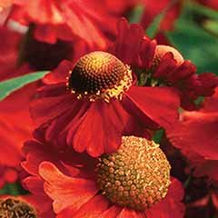 Helenium Ruby Tuesday 3L