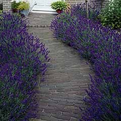 English Lavender Hidcote 3L