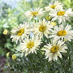 Leucanthemum Broadway Lights 3L