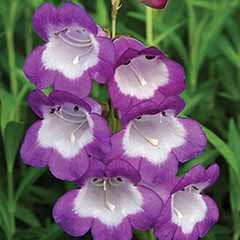 Penstemon Czar 3L