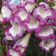 Penstemon Laura 3L