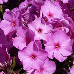 Phlox paniculata Pink Flame 3L
