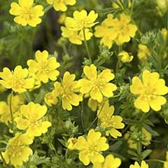 Potentilla Golden Sovereign 3L