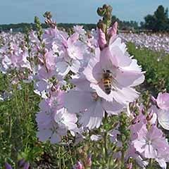 Sidalcea Elsie Heugh 3L
