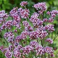 Verbena bonariensis 3L