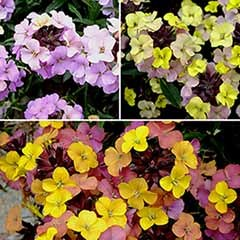 Erysimum 'Summer Skies' collection 3 x 9cm