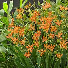 Belamcanda chinensis 'Orange Dream' (Freckle Face, Blackberry Lily)