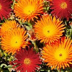 Lampranthus aureus, 'Red' and 'Orange'