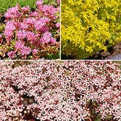 Sedum Groundcover Collection