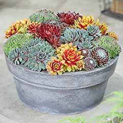 Premium 'Chick Charms' Sempervivums Collection 6 x 9cm