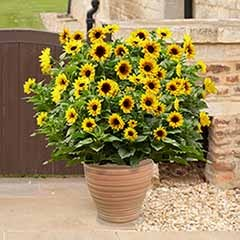 Patio Sunflower 'Sunbelievable (TM) Brown Eyed Girl'