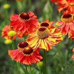 Helenium 'Sahins Early Flowerer' Sneezeweed
