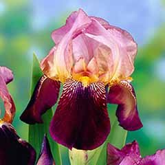 Iris Germanica 'Ambassadeur' Hardy Bearded Iris