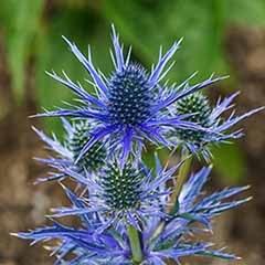 Eryngium planum 'Blue Hobbit'