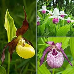 Garden Orchid Cypripedium Slipper Orchid