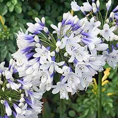 Agapanthus africanus 'Twister', African Lily
