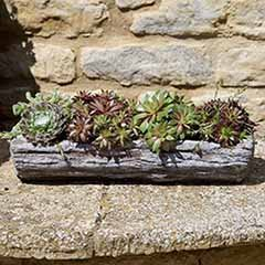 Pre-planted Sempervivum Log