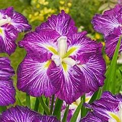 Dinner Plate Iris ensata 'Jell-O'