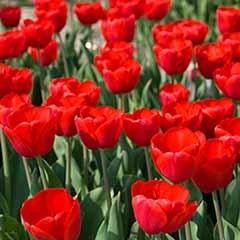 Tulip Tulipa 'Triumph Red'