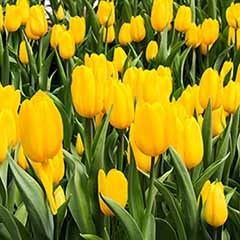 Tulip Tulipa 'Triumph Yellow'