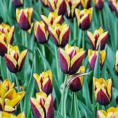 Tulip Tulipa 'Gavota'
