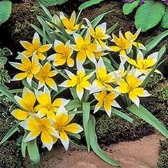Tulip Tulipa 'Tarda'
