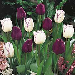 Tulip 'Purple & Shirley Mixed'