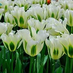 Tulip viridiflora 'Spring Green'