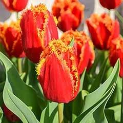 Tulip 'Lambada'