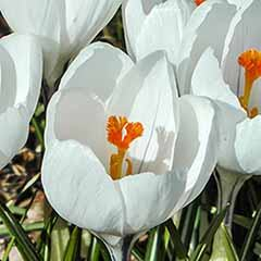 Large-Flowered Crocus 'White'