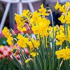 Daffodil Narcissus 'Quail'