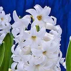 Hyacinth White