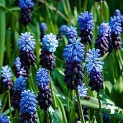 Grape Hyacinth Muscari latifolium