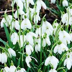 Galanthus nivalis (Snowdrops)