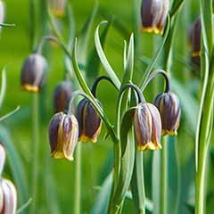 Fritillaria uva-vulpis ('Foxs Grape')
